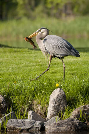 a great heron walking on the grass with a fish photo