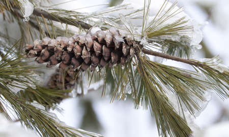a pine branch and cone covered with ice Stock Photo