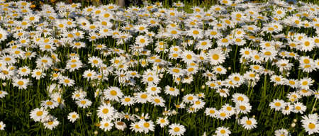 a field filled with daisy flowe, shot on a sunny day