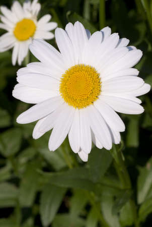 A close up shot af a daisy flower on a sunny day Stock Photo