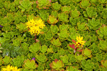 a bed of canadian alpine plant with yellow flowers