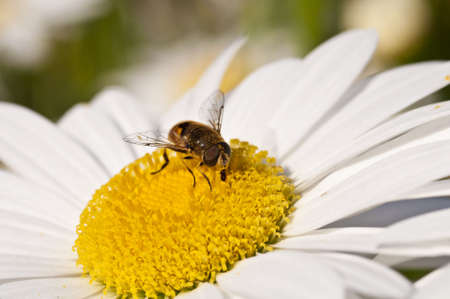 a bee collecting nectar from a daisy flower