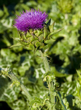 a macro shot of a blooming thistle plant Stock Photo