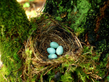 Nest of bird on the tree with four mint eggs in the forest near Siemiatycze and Mielnik Stock Photo