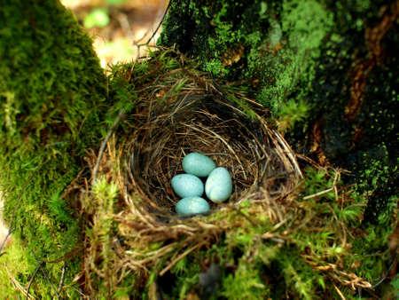 Nido de pájaro en el árbol con cuatro huevos de menta en el bosque cerca de Siemiatycze y Mielnik Foto de archivo