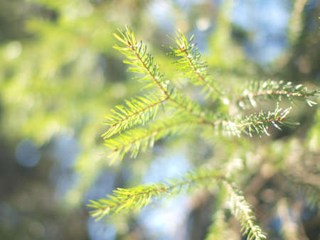 Pine branch in light on sunshine photo