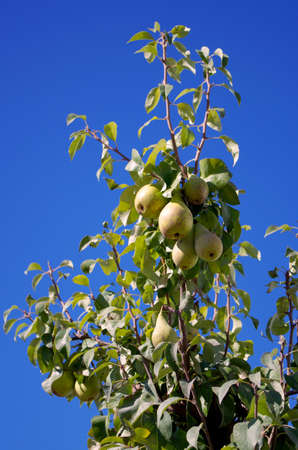 Ripe pears on the branch 2 Stock Photo