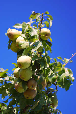 Ripe pears on the branch Stock Photo