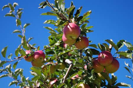 Manzanas maduras de un �rbol