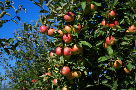 Manzanas maduras en un �rbol 2 Foto de archivo