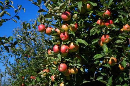 Ripe apples on a tree 2