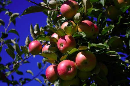 Ripe apples on a tree 3