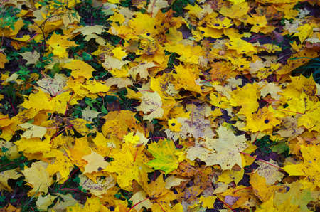 Yellow leaves fall