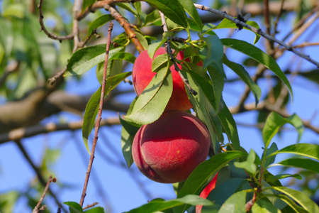 Red peaches on the branch