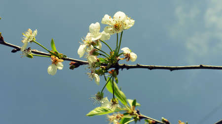 Cherry blossom on a branch of a tree in the spring sunshine. It is a flower of a popular fruit tree all over the world admired for its beauty and delicious fruit. Imagens - 78130188
