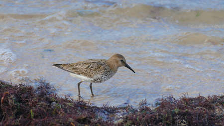 Dunlin on the beach. A well-known bird found on the beach. Looking for food in algae using a long beak.