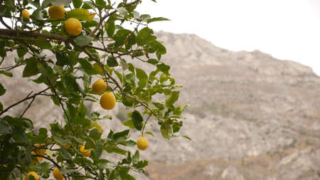 Lemon tree on Lake Garda in Italy - symbol of the area