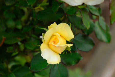 Multiflora Rose. Rosa multiflora is a species of rose known commonly as multiflora rose, baby rose, Japanese rose, many-flowered rose, seven-sisters rose, Eijitsu rose and rambler rose. It is native t