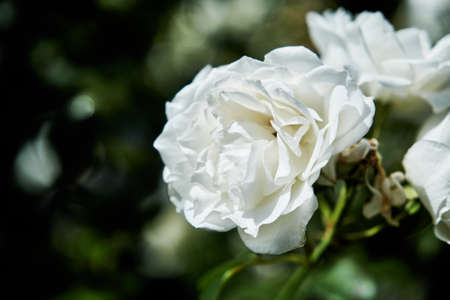 English roses are among the most popular with home gardeners. These hybrid shrubs or climbers combine the full-petaled flower form and intense fragrance of old roses with the wider color range Stock Photo