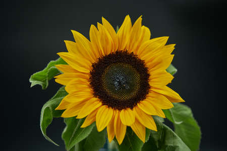 Sunflowers are thought to have been domesticated 3000–5000 years ago by Native Americans who would use them primarily as a source for edible seeds. They were then introduced to Europe in the early 16t Standard-Bild