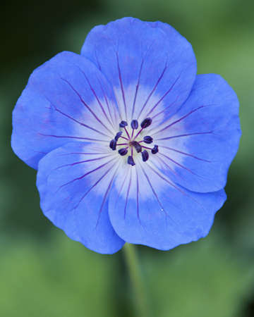 Blue Flower Head and Stamen Close-up photo