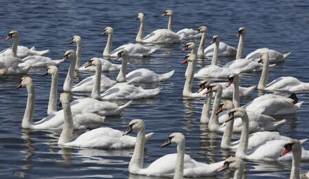 Group of mute swans on lake swimming from right to left photo