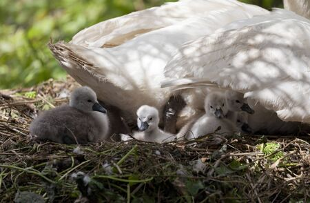 Female swan on nest with group of five cygnets Stock Photo - 14968353