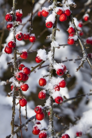 laden: Cotoneaster berries with a dusting of snow Stock Photo