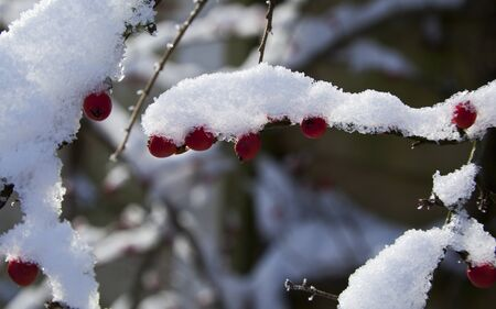 laden: Snow laden branch of cotoneaster with red berries Stock Photo