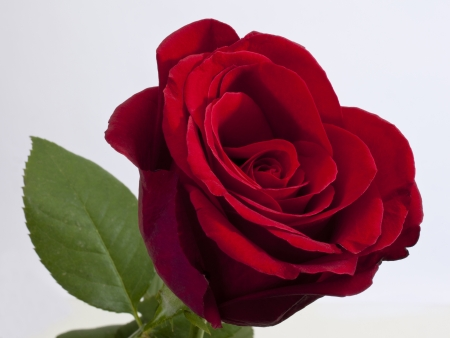 rose flower: Single red rose with green leaf on white background