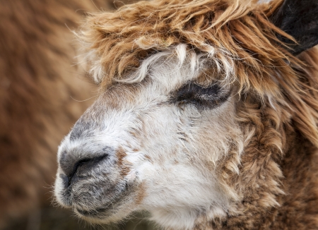 Close up headshot of brown alpaca, sideways to camera photo
