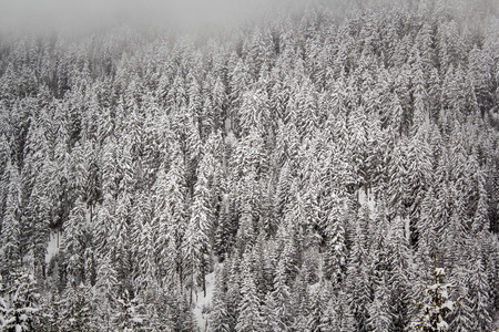 Close up of a stand of conifer trees heavily laden with snow Stock Photo - 27569043