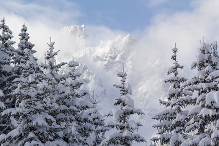 laden: Close up of a stand of conifer trees heavily laden with snow with mountain top in background