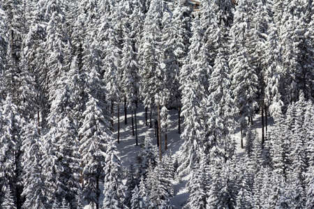 laden: Close up of a stand of conifer trees heavily laden with snow Stock Photo