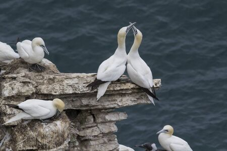 Pair of Gannets in nesting colony exhibiting courtship behaviour