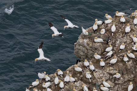 Group of Gannets on rock outcrop