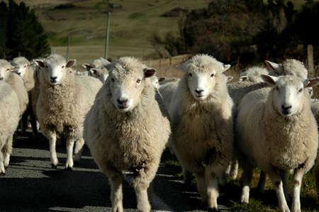 Sheep Head on Stock Photo - 561975