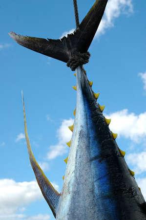 Fresh Tuna Stock Photo - 728975