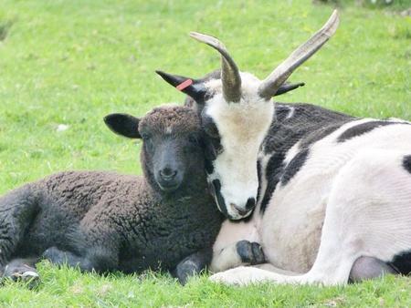 Jacob ewe sleeping on lamb photo