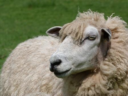 ewe: Romney Ewe