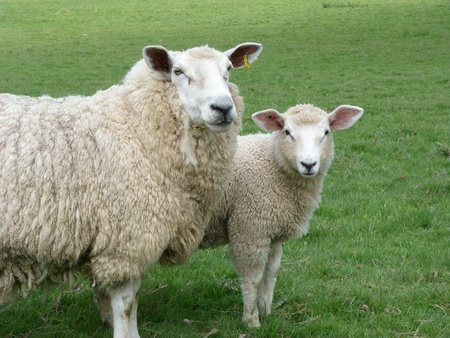 Romney Ewe and Lamb in Field Stock Photo
