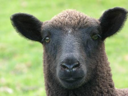 jacob: Face of a black jacob cross lamb Stock Photo