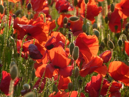 Field of Poppies in the evenig sun  Stock Photo - 14091134