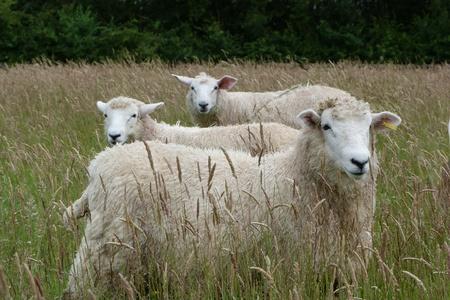 Romney lambs in a meadow photo