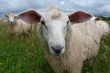 Romney lamb with large ears in meadow photo