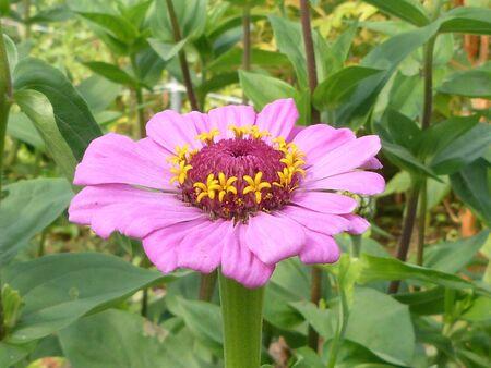 botanica: Pink Zinnia against foliage