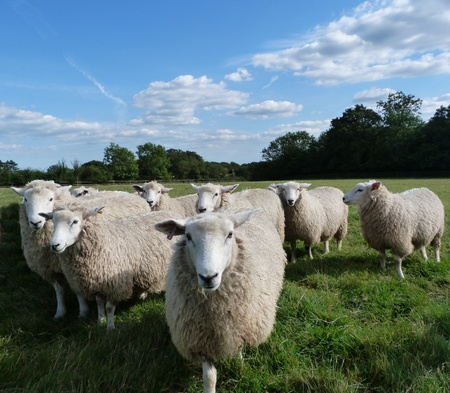 A Small Flock of Young Romney Sheep photo