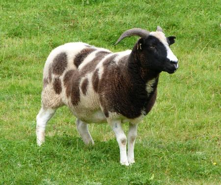 ovine: A Jacob Ewe standing in pasture