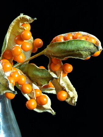 stinking: Seed pods of  Iris foetidissima or Stinking Iris