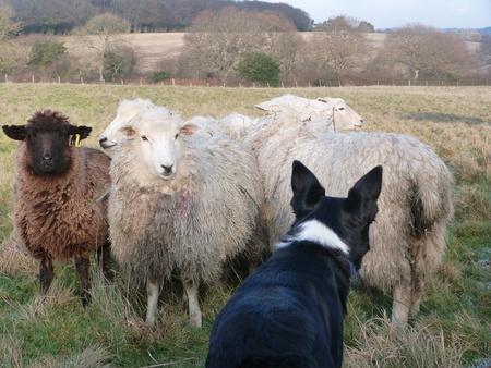 Border Collie Working Sheep Stock Photo - 17472688
